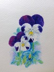 「White and purple pansy」